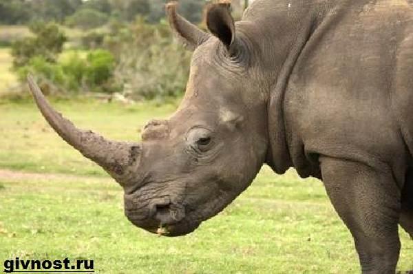 Носорог-животное-Образ-жизни-и-среда-обитания-носорога-4