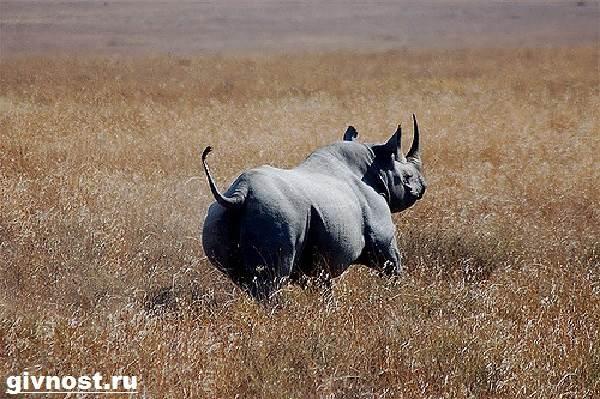 Носорог-животное-Образ-жизни-и-среда-обитания-носорога-8