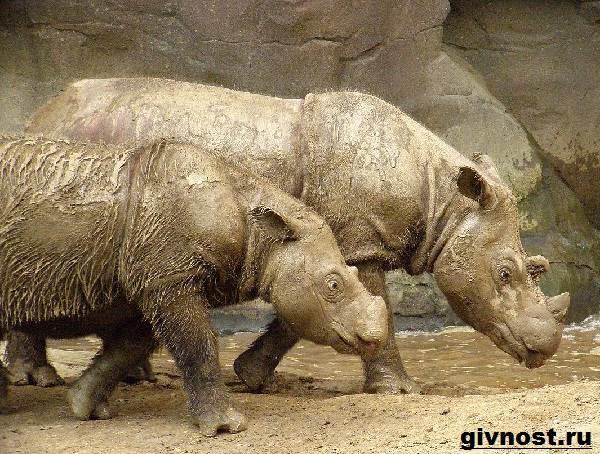 Носорог-животное-Образ-жизни-и-среда-обитания-носорога-9