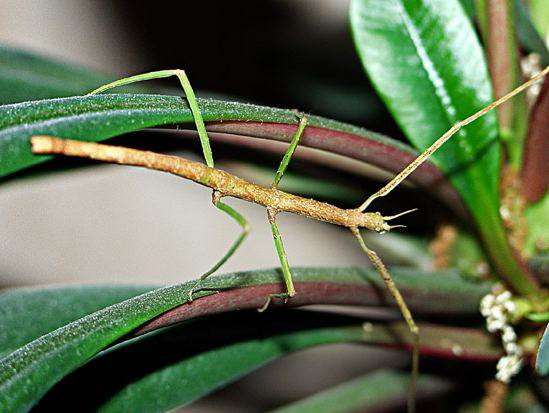Палочник-насекомое-Образ-жизни-и-среда-обитания-палочника-1