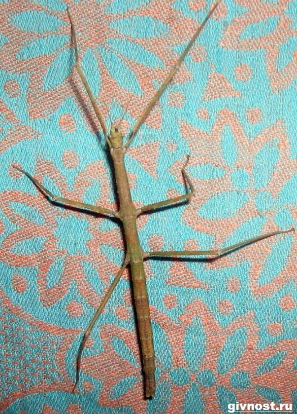 Палочник-насекомое-Образ-жизни-и-среда-обитания-палочника-10
