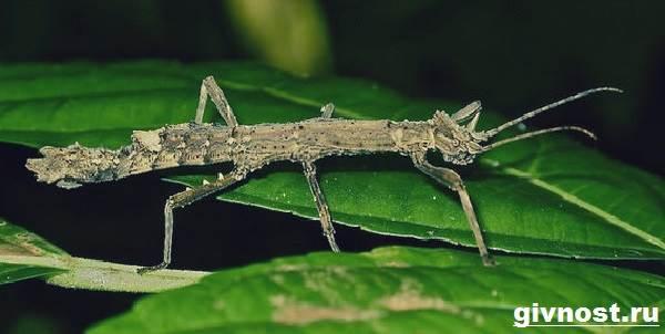 Палочник-насекомое-Образ-жизни-и-среда-обитания-палочника-3