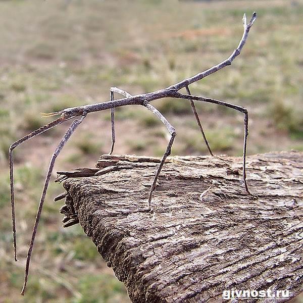 Палочник-насекомое-Образ-жизни-и-среда-обитания-палочника-4
