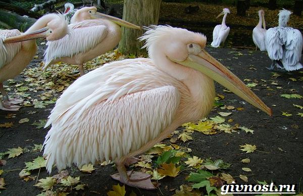 Птицы-Красной-книги-России-13