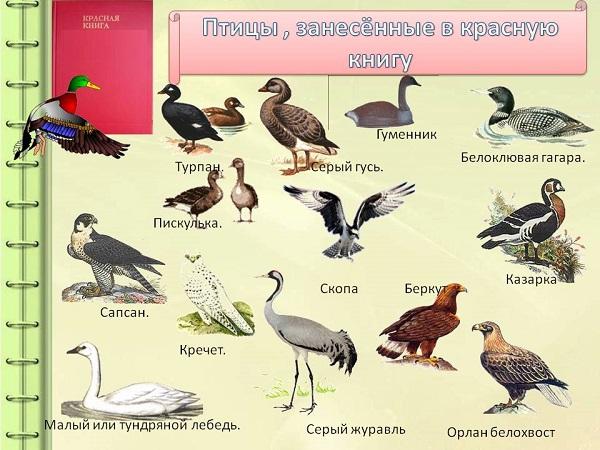 Птицы-Красной-книги-России-2