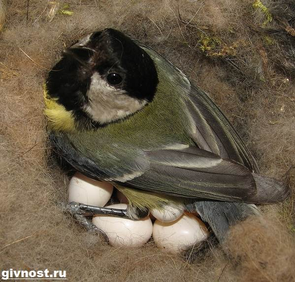 Синица-птица-Образ-жизни-и-среда-обитания-синицы-10