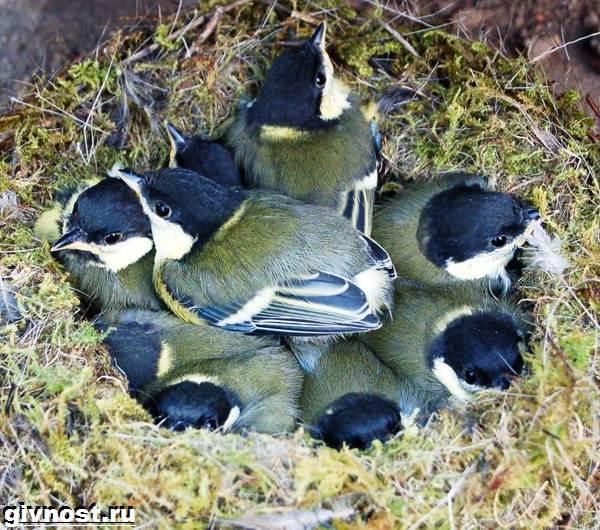 Синица-птица-Образ-жизни-и-среда-обитания-синицы-11