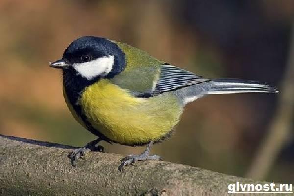 Синица-птица-Образ-жизни-и-среда-обитания-синицы-2