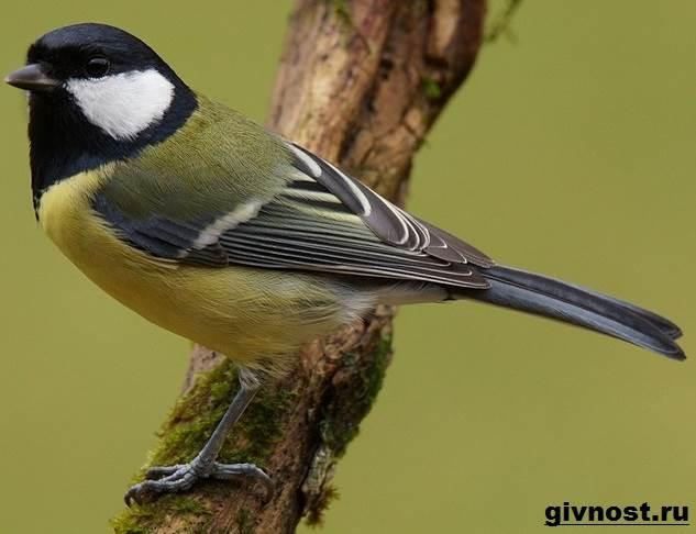 Синица-птица-Образ-жизни-и-среда-обитания-синицы-6