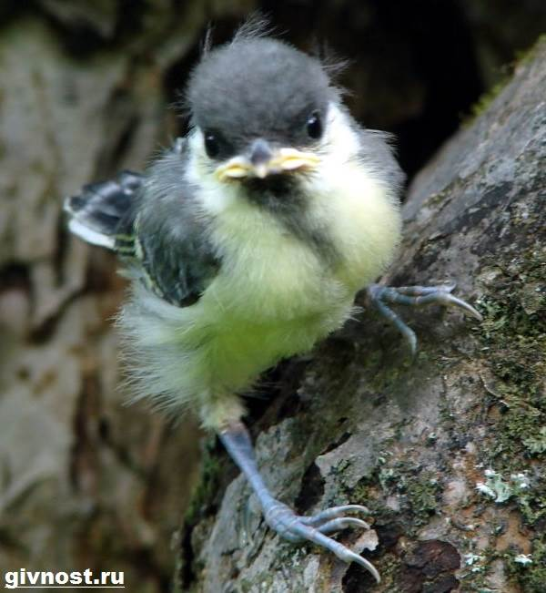 Синица-птица-Образ-жизни-и-среда-обитания-синицы-8