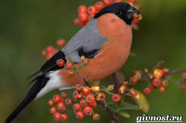 Снегирь-птица-Образ-жизни-и-среда-обитания-снегиря-1
