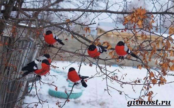 Снегирь-птица-Образ-жизни-и-среда-обитания-снегиря-10