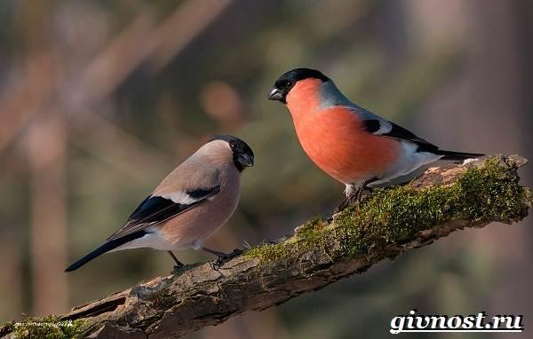 Снегирь-птица-Образ-жизни-и-среда-обитания-снегиря-3