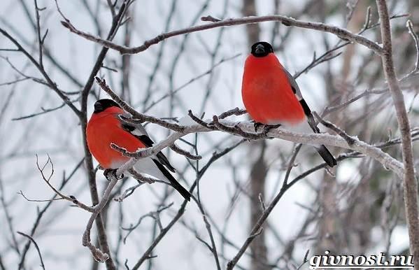 Снегирь-птица-Образ-жизни-и-среда-обитания-снегиря-4