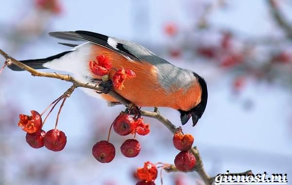 Снегирь-птица-Образ-жизни-и-среда-обитания-снегиря-5
