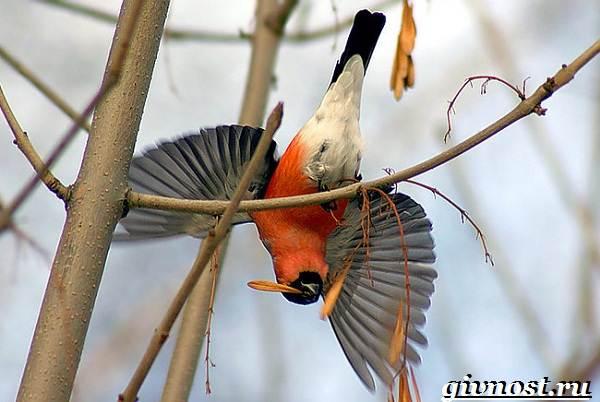 Снегирь-птица-Образ-жизни-и-среда-обитания-снегиря-6