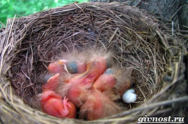 Снегирь-птица-Образ-жизни-и-среда-обитания-снегиря-8