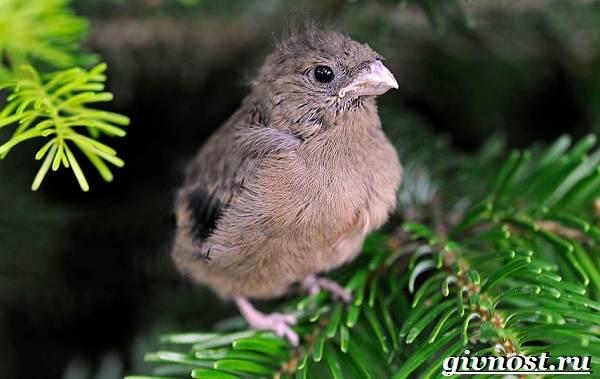 Снегирь-птица-Образ-жизни-и-среда-обитания-снегиря-9