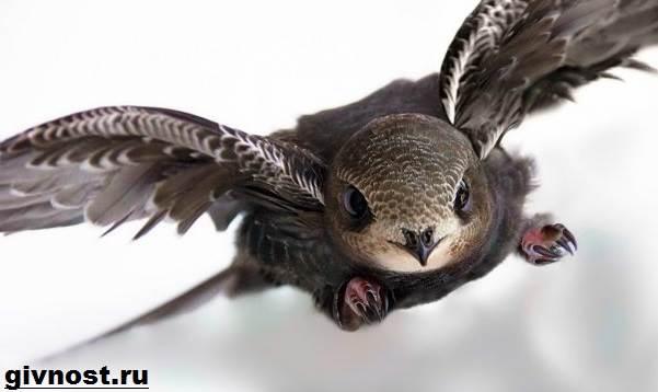 Стриж-птица-Образ-жизни-и-среда-обитания-стрижей-1