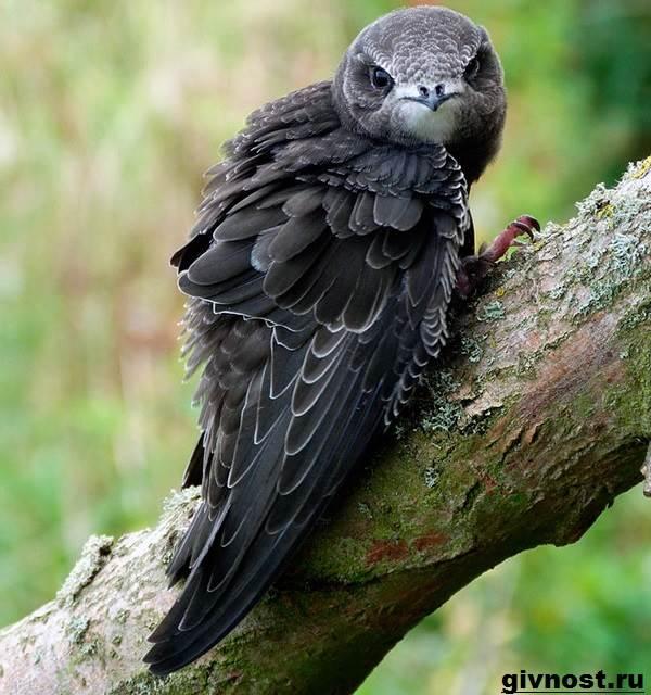Стриж-птица-Образ-жизни-и-среда-обитания-стрижей-3
