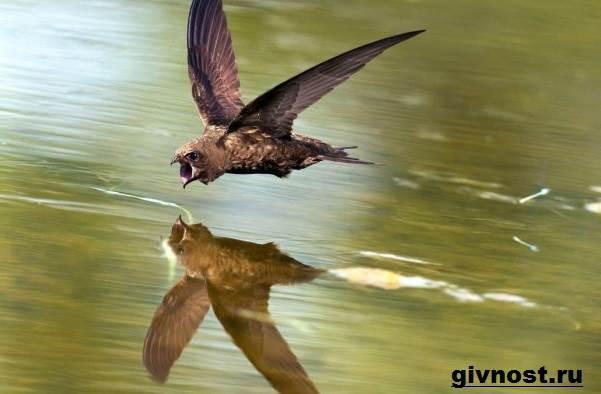 Стриж-птица-Образ-жизни-и-среда-обитания-стрижей-4