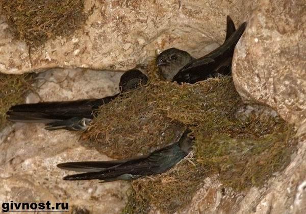 Стриж-птица-Образ-жизни-и-среда-обитания-стрижей-5