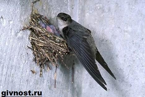 Стриж-птица-Образ-жизни-и-среда-обитания-стрижей-6