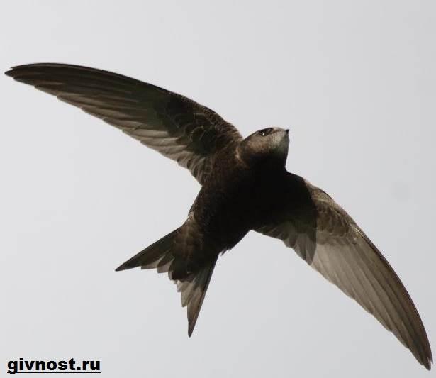 Стриж-птица-Образ-жизни-и-среда-обитания-стрижей-7