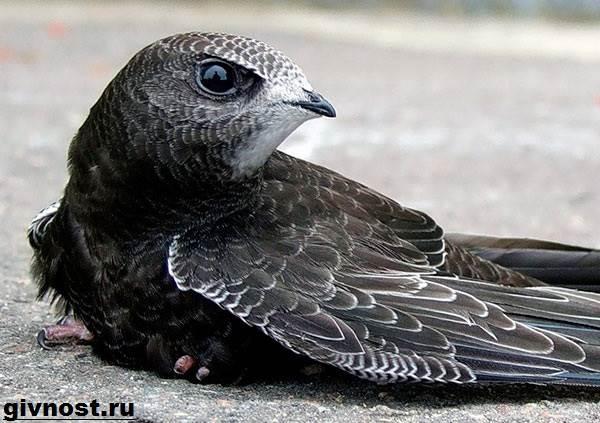 Стриж-птица-Образ-жизни-и-среда-обитания-стрижей-8