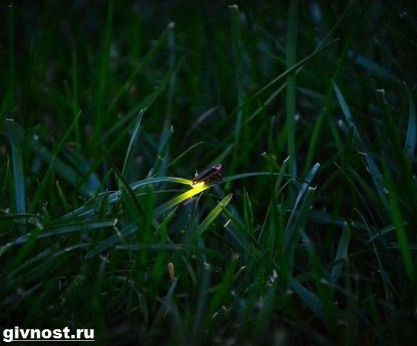 Светлячок-насекомое-Образ-жизни-и-среда-обитания-светлячка-10