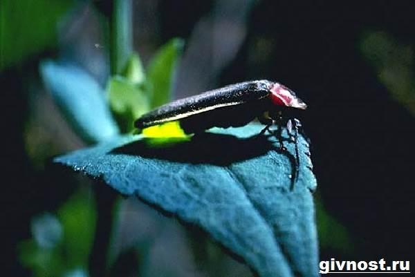 Светлячок-насекомое-Образ-жизни-и-среда-обитания-светлячка-3