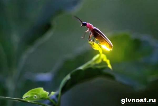 Светлячок-насекомое-Образ-жизни-и-среда-обитания-светлячка-4