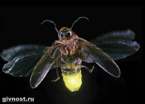 Светлячок-насекомое-Образ-жизни-и-среда-обитания-светлячка-8