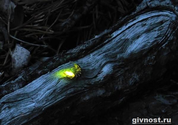 Светлячок-насекомое-Образ-жизни-и-среда-обитания-светлячка-9