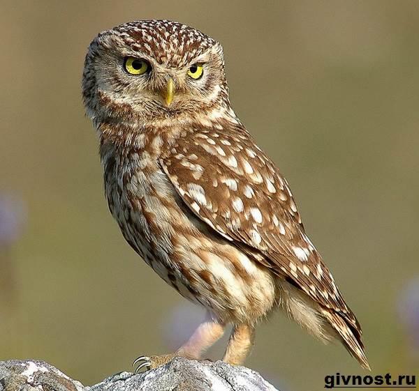 Сыч-птица-Образ-жизни-и-среда-обитания-сыча-10