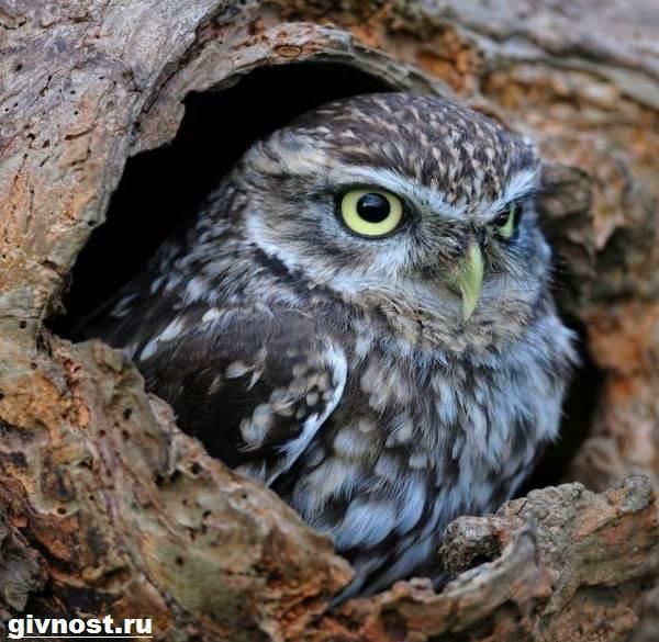 Сыч-птица-Образ-жизни-и-среда-обитания-сыча-8