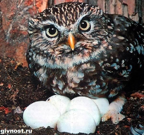 Сыч-птица-Образ-жизни-и-среда-обитания-сыча-9