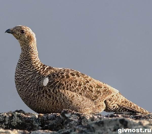 Тетерев-птица-Образ-жизни-и-среда-обитания-тетерева-11
