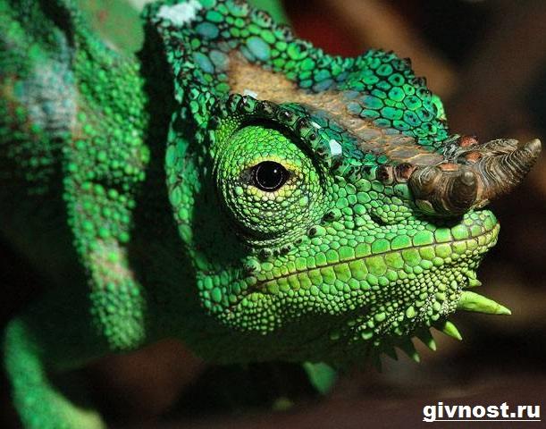 Хамелеон-животное-Образ-жизни-и-среда-обитания-хамелеона-1