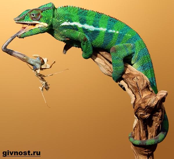 Хамелеон-животное-Образ-жизни-и-среда-обитания-хамелеона-10