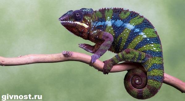 Хамелеон-животное-Образ-жизни-и-среда-обитания-хамелеона-12