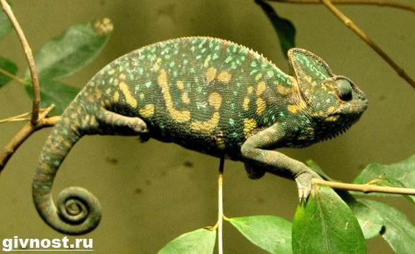 Хамелеон-животное-Образ-жизни-и-среда-обитания-хамелеона-3