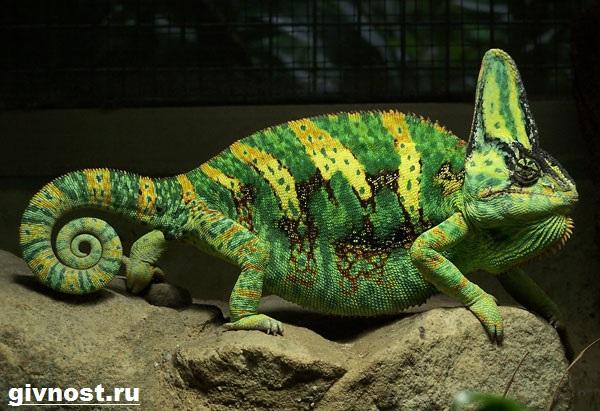 Хамелеон-животное-Образ-жизни-и-среда-обитания-хамелеона-5