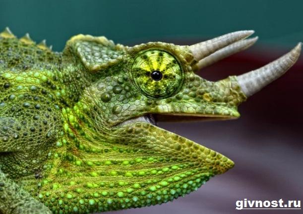 Хамелеон-животное-Образ-жизни-и-среда-обитания-хамелеона-8