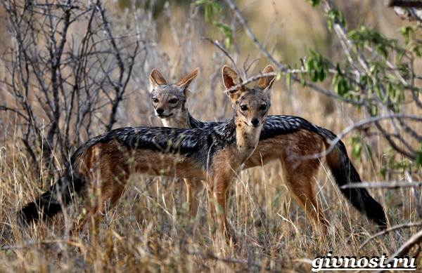 Животные-Африки-Описание-и-названия-животных-Африки-19