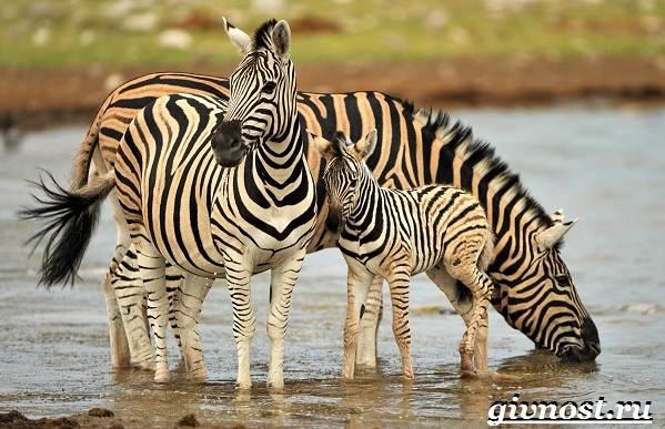 Животные-Африки-Описание-и-названия-животных-Африки-8