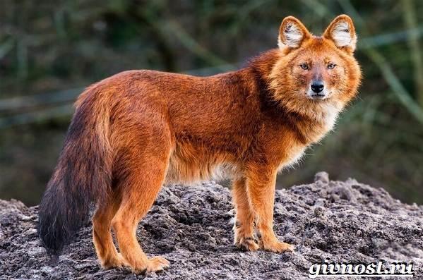 Животные-Красной-книги-России-26