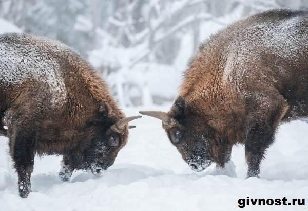 Зубр-животное-Образ-жизни-и-среда-обитания-зубра-7