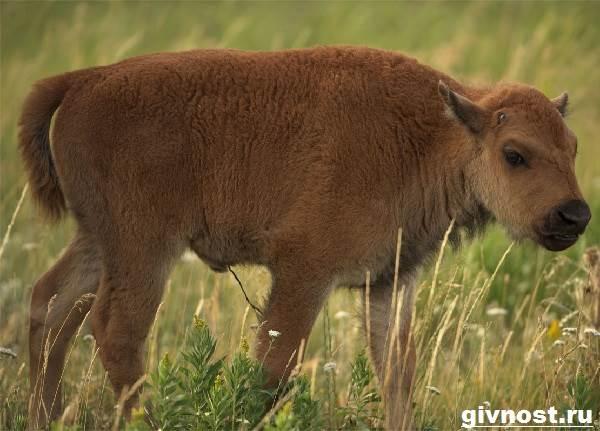 Зубр-животное-Образ-жизни-и-среда-обитания-зубра-8