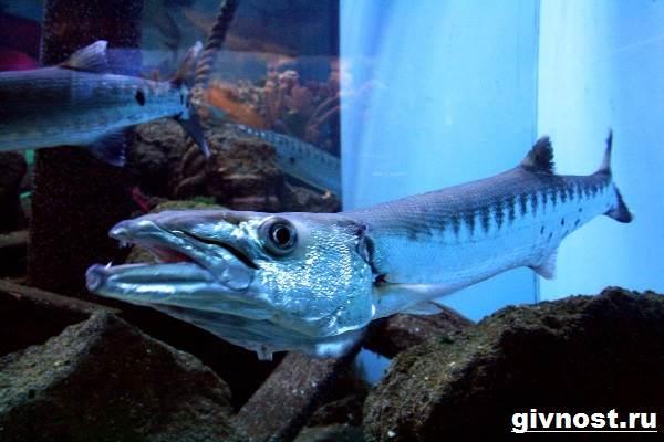 Барракуда-рыба-Образ-жизни-и-среда-обитания-барракуды-5